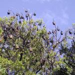 Murciélagos en el Jardín Botánico de Sidney